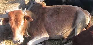 Ethio Admas Ethiopia Livestock