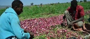 Ethio Admas Onion Farm